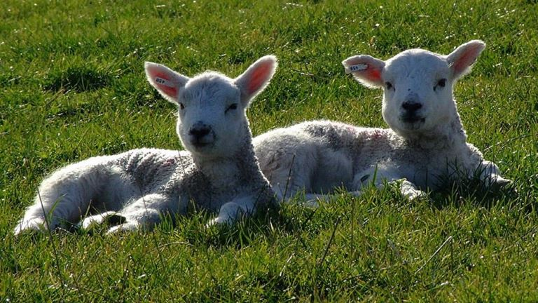 lake-vyrnwy--spring--young-lambs-lying-on-grass